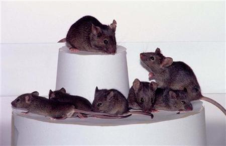 Ratos clonados